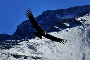 El condor volando 1