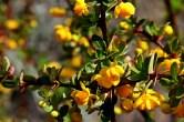 Arbusto de Calafate