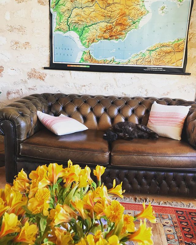 // chill cat on a change over // #ninothecat #chillestcat in #ibiza #lascicadasibiza #sunday #april #freshflowers #finca #ibizenca #casapayesa #farmhouse #rustic #style #interiors #vintage #map #spain #stylish #chesterfield #couch #holidayhome #homeawayfromhome #itsbetterinibiza #vacation #destination #boutiquevilla 🌼
