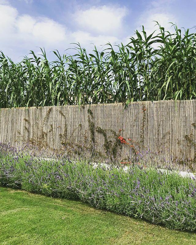 Lushness 💚 #garden #lushness #campo #nature #mediterranean #flora #bougainvillea #lavender #cañas #ibiza #santagertrudis
