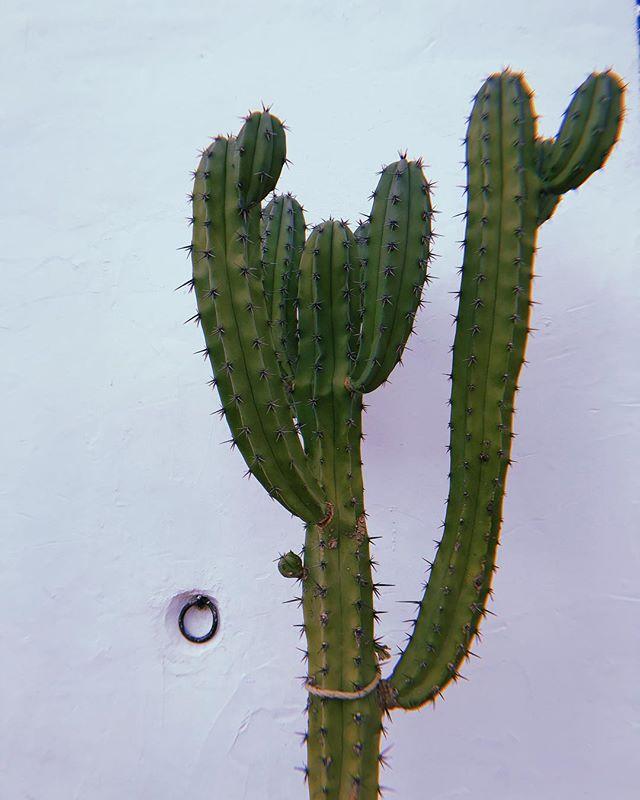 🌵👑 #lascicadasibiza #cactus #ibiza