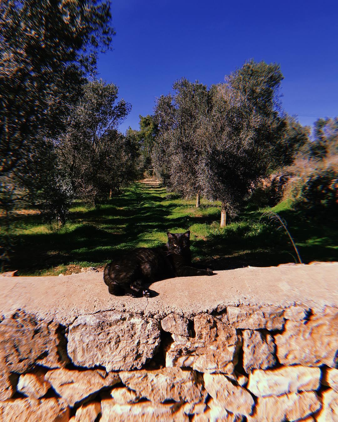    Bathing in the December sun    #ninothehousecat #blackcat #mascota #sunbathing #goodlife #december #olivegrove #olivetrees #bluesky #mediterranean #garden #lascicadasibiza #finca #rustic #farmhouse #campo #nature #ibiza #winterseason