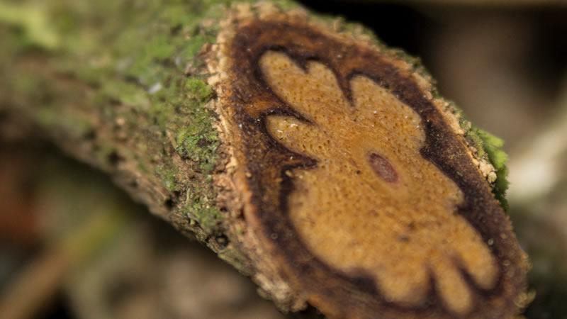 Te de Ayahuasca un Alucinógeno de La Amazonia Podría Tratar el Alzheimer