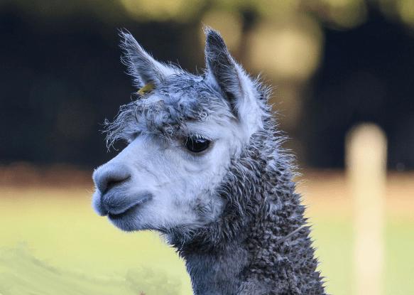 copthill llama