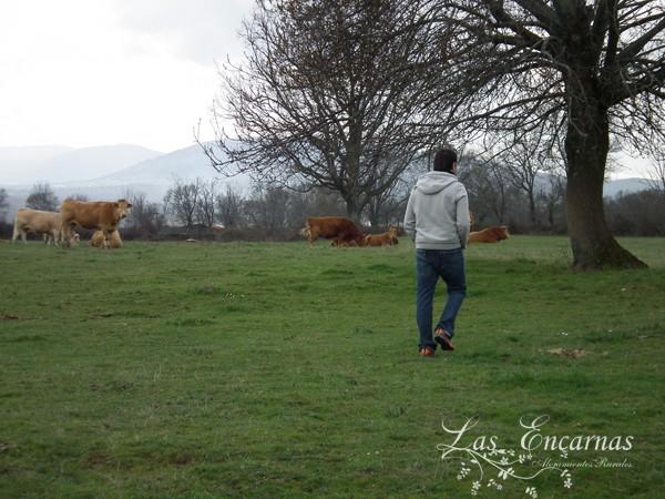 Vacas en el prado