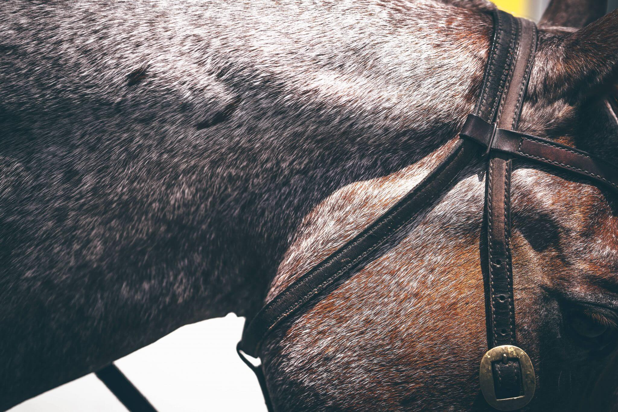 Equine Laser