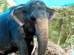 Elephant, Elefante asiatico, India
