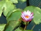 Lotus flower, India