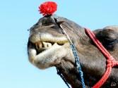 Camel, India, camello