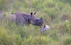 Rinocerónte y su cría, Paeque Nacional de Chitwan