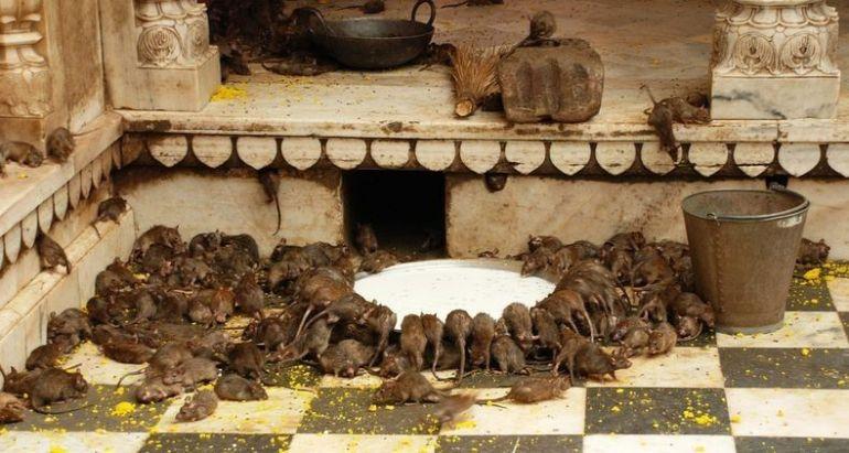 Templo de las ratas en Deshnoke