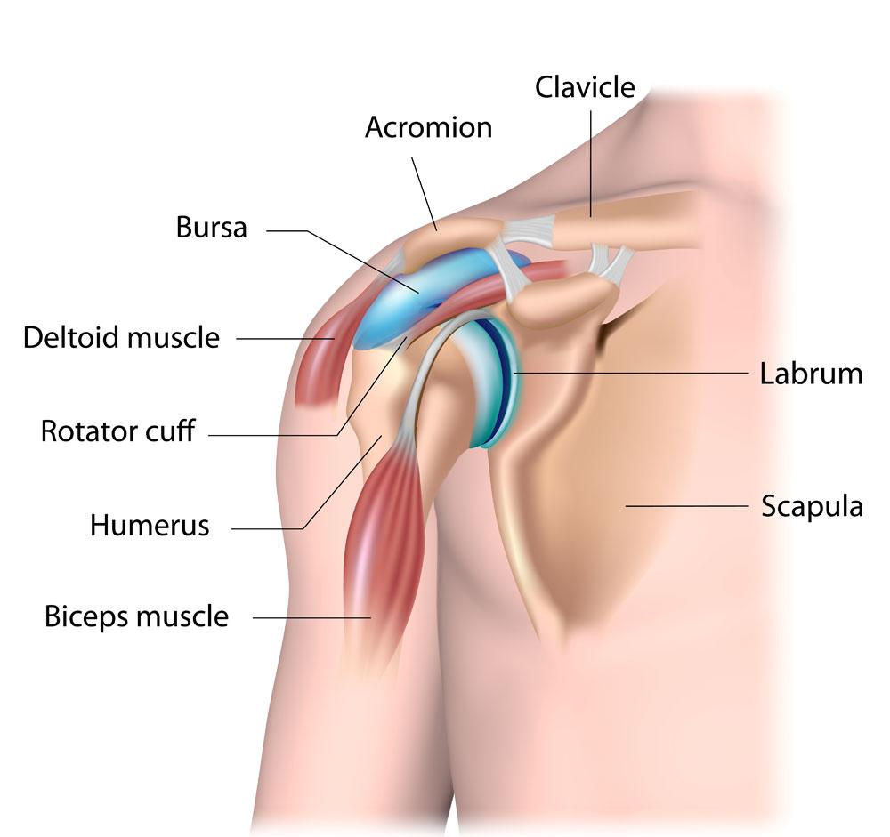 hight resolution of shoulder anatomy