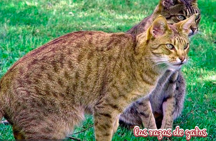 gato ocicat