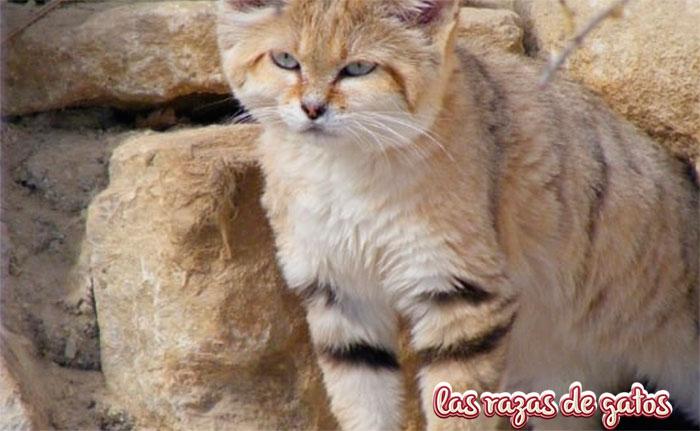 gato de las arenas felis margarita