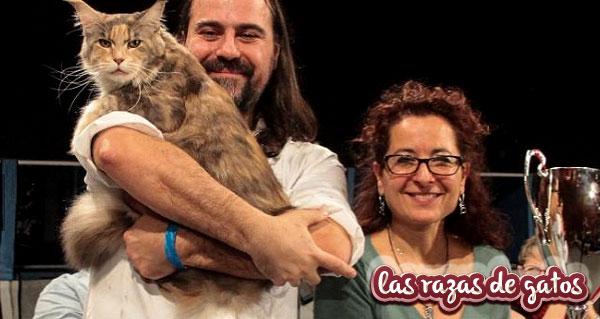 Razas de gatos imagen del gato calliope con sus dueños