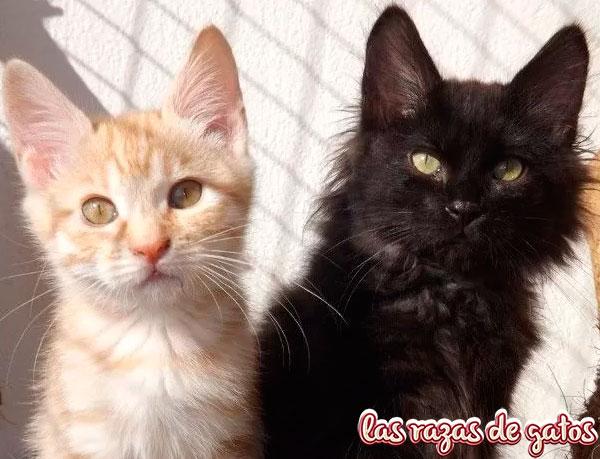 gato bobtail americano negro y blanco cachorros