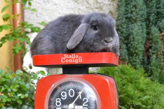 Il più piccolo dei nostri arieti Nani! Nato a La Stalla, il suo peso da adulto è di kg1,00!! Incredibilmente piccolo per essere un ariete nano!