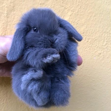 Ariete Nano Blu meraviglioso cucciolo