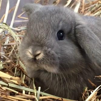 cucciolo coniglio Ariete Grigio