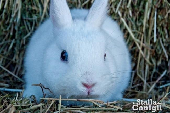 coniglio nano ermellino occhi azzurri