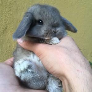 cucciolo coniglietto Ariete