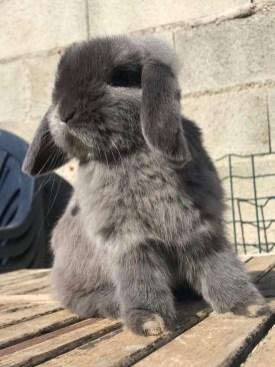 Ariete Nano Martora Blu Allevamento La Stalla dei Conigli