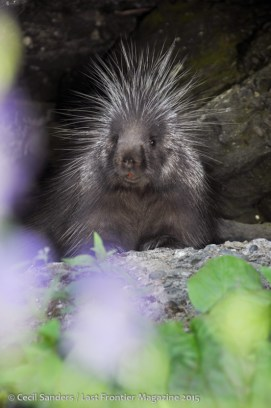 A porcupine on alert. www.cecilsandersphotography.com