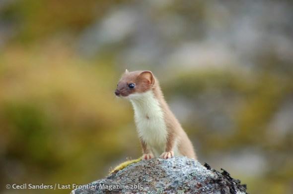 Weasel posing on a rock. www.cecilsandersphotography.com