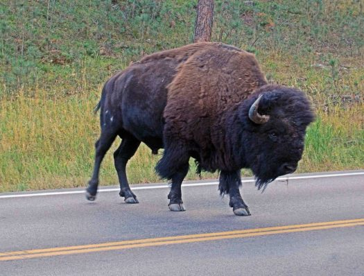 Custer SP, SD Buffalo 3