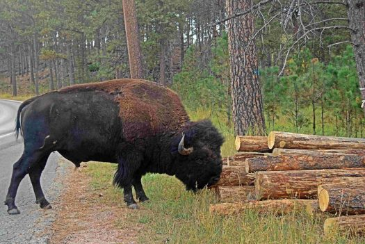Custer SP, SD Buffalo 4