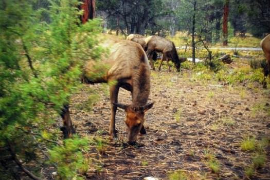 Elk, Grand Canyon Desert View Road