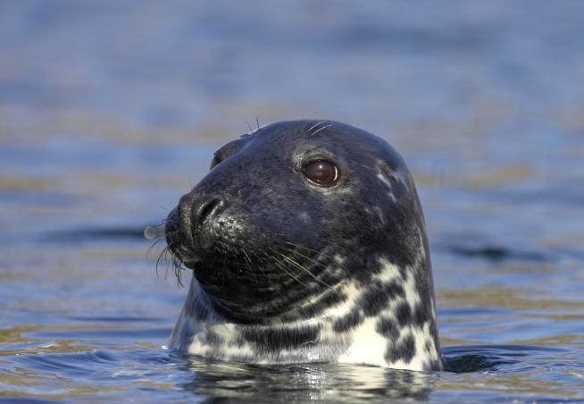 Common seal (Phoca vitulina) surfacing in sea off Scottish west coast.
