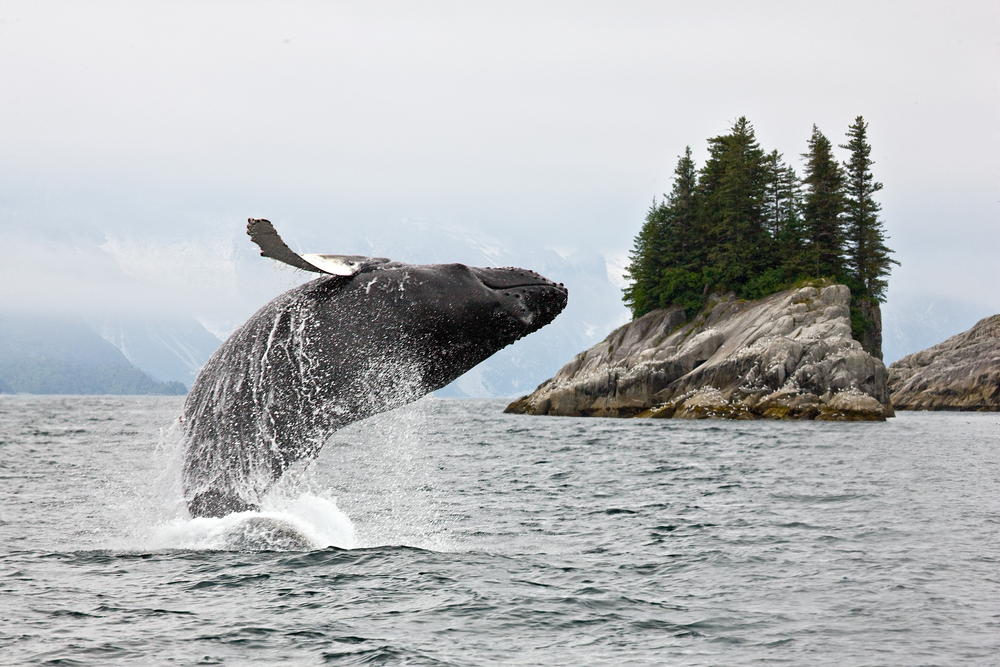 Humpback whale breaching the water in Alaska