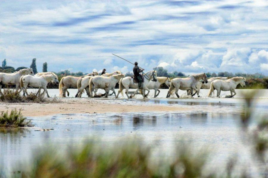 Stages et ateliers de photo en CAMARGUE . Chevaux, étalons, poulains, taureaux, paysages et traditions locales. Accueil logistique à LA TABLE à RALLONGE