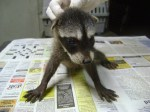 Baby male Raccoon survivor of poisoning 2012-08-32