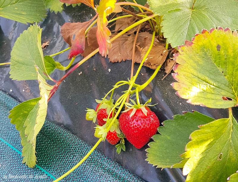 biodynamie-fraise-coteaux-nantais
