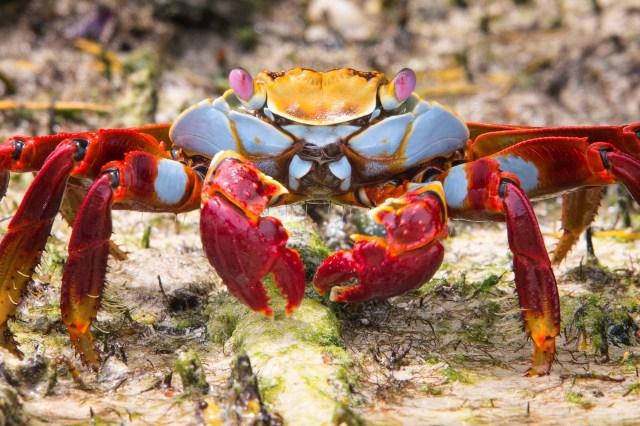 Galapagos granchio colorato