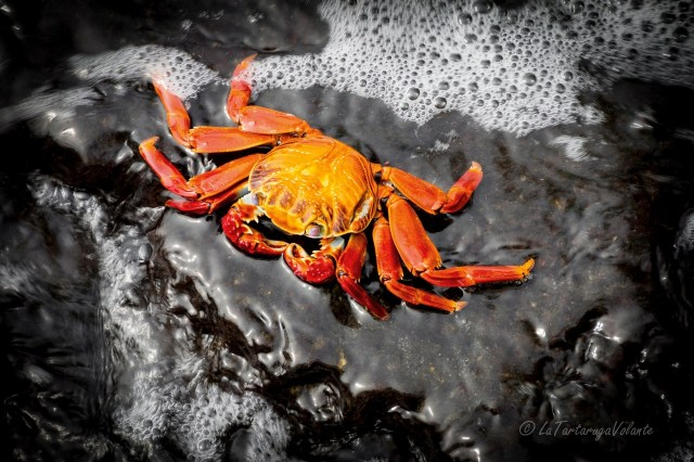 Galapagos granchio rosso
