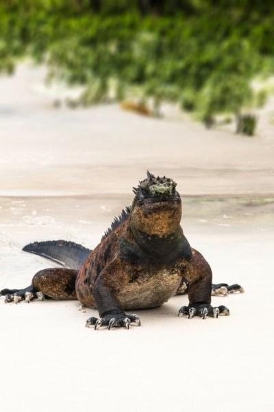 Galapagos iguana marina