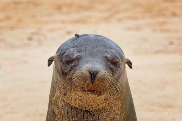 Galapagos leone marino e mosca