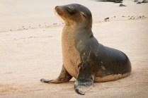 Isole Galapagos, leone marino insabbiato