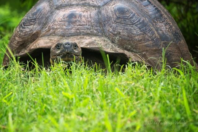 Galapagos tartaruga gigante femmina
