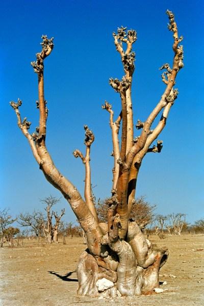 Namibia foresta degli spiriti all'Etosha