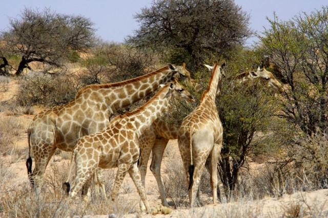 Namibia giraffe all'Etosha National Park