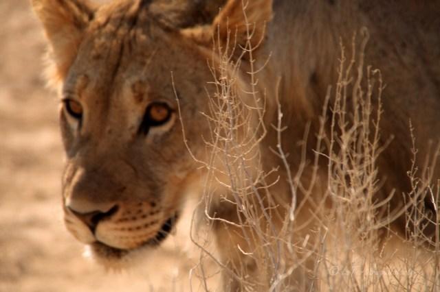 Namibia leonessa a caccia