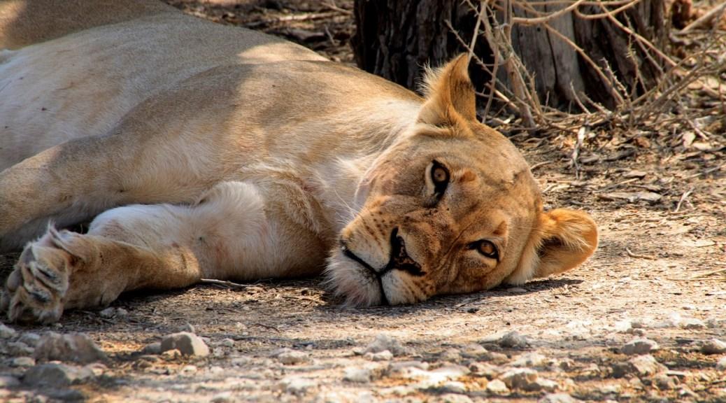 Namibia leonessa a riposo