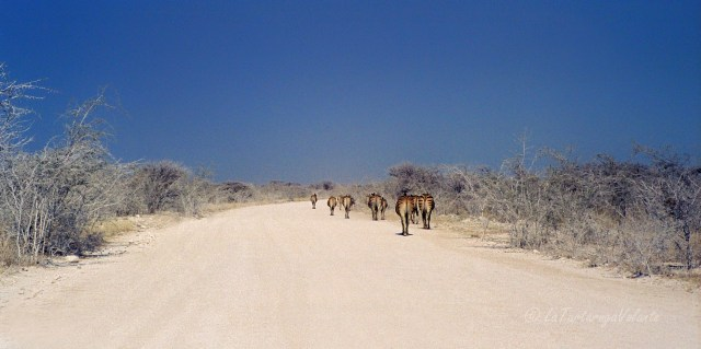 Namibia strada con zebre al Etosha National Park