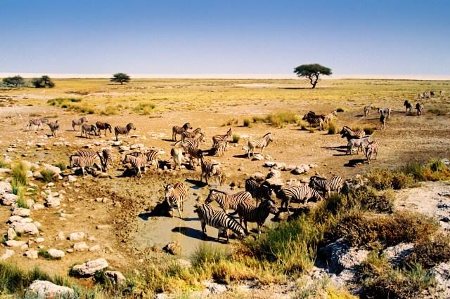 Namibia zebre al Etosha national park