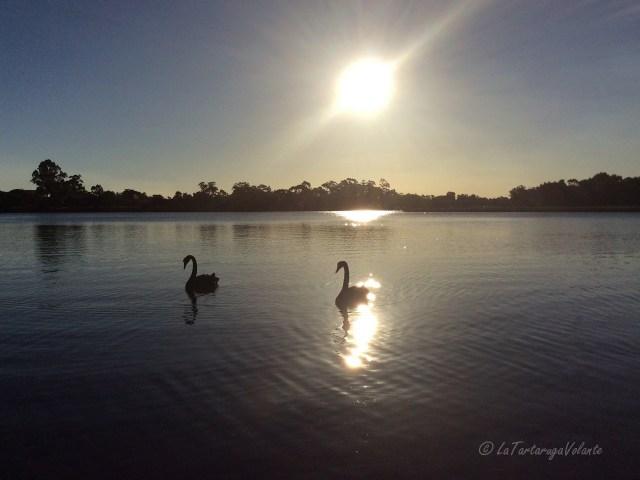 Western Australia black swans