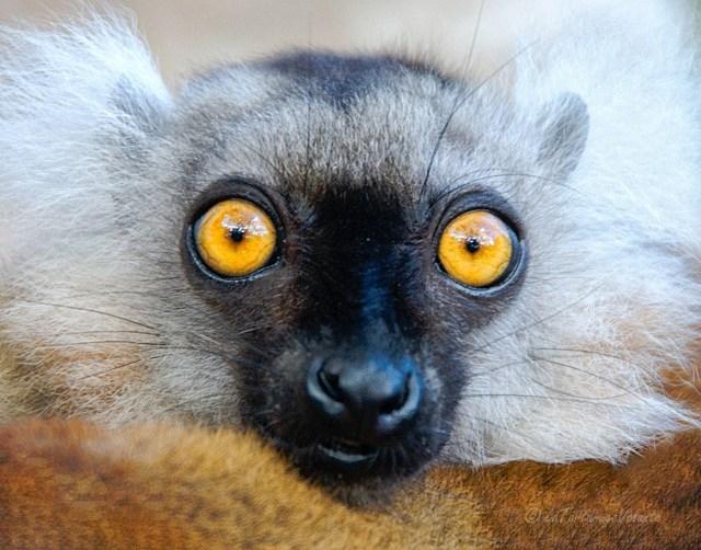 Viaggiare sicuri, stare attenti come un lemure del Madagascar